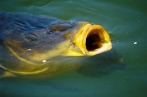 carp eating